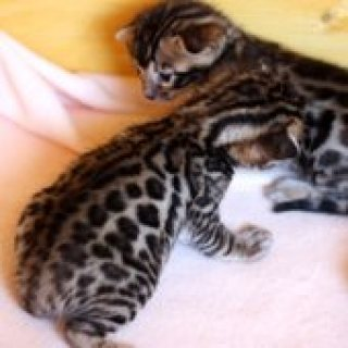 Fantastically beautiful purebred Bengal kittens