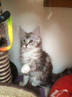 Mainecoon Kitten For Adoption