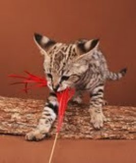 Xmas F2 TICA Reg Savannah Kitties for Adoption