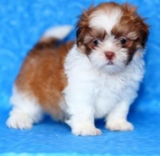Shih Tzu puppies for sale in good home..