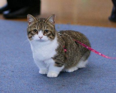 Adorable Munchkin Kitten For Sale
