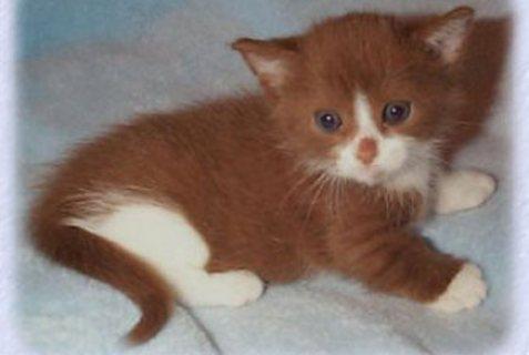 Absolutely Beautiful Munchkin Kitten For Sale