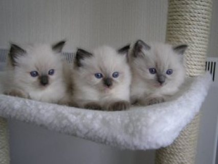 Good looking Gorgeous fun loving ragdoll Kittens kittens availab