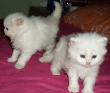 Good looking Two White Persian Kittens for sale now