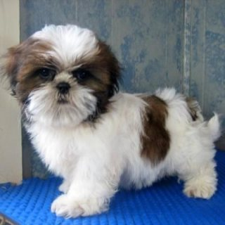 Well Trained Shih Tzu Puppies Available for new home