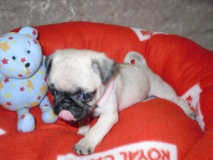 Home Raised Pug Puppies for Adoption