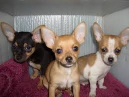 We have two amazing chihuahua puppies