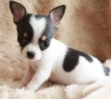 Tiny Chihuahua Puppy for Sale