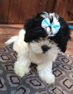 2 sweet Shih Tzu Adorable  Pups Looking For a Home