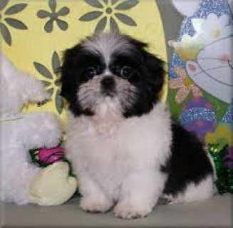 adorable Shih Tzu for sell