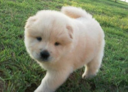 Adorable Male and Female Chow Chow ready to go