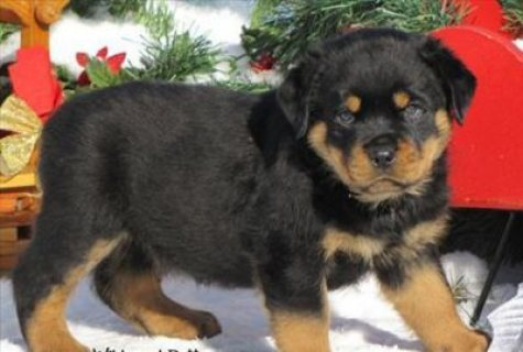 11 weeks old Rottweiler puppies