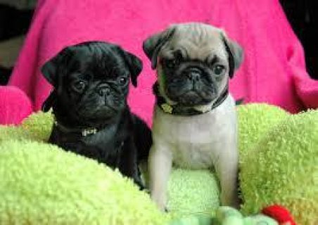cute pug puppies for need new homes