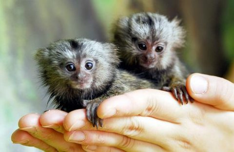 very lovely Marmoset Monkeys for sale.