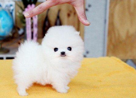 12 weeks old Amazing Pomeranian