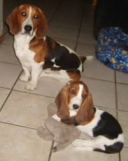 10 Month Old Basset Hound Female For Sale