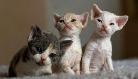 Devon Rex Kittens for any loving home