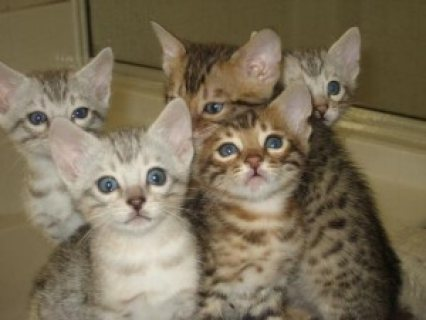 BENGAL Kittens Available  Cute and lovely