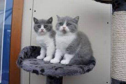 Must have Pedigree British Shorthair Kittens