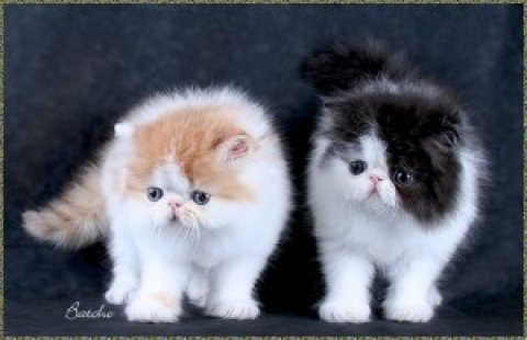 Pure breed Persian kitten - 100% Pure breed Persian kitten - 100