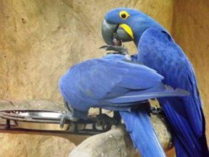 Blue & Gold Macaws, parrots for sale