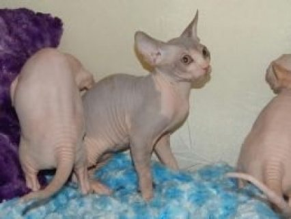 Purebred Sphynx Kittens for sale.Please contact us now