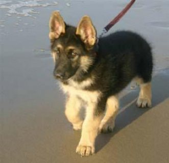 Beautiful German shepherd puppies for