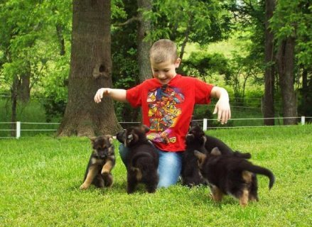 Good looking German Shepherd puppies are both playful and friend