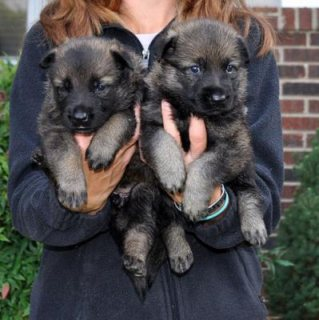 male and female German Shepherd puppies