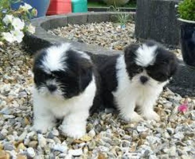 2 Shih Tzu Puppies for Sale