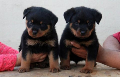 Beautiful Rottweiler Puppies - just in time for Christmas!