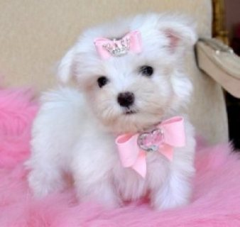 adoptionlovely x-mass MALTESE puppies for home