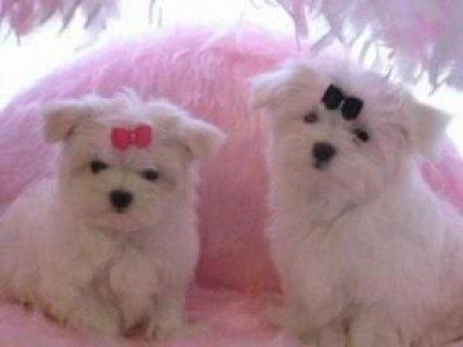 Affectionate Tini Teacup Maltese Puppies to offer for X-Mass