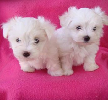 Toy Teacup Maltese Puppies For Good Home This X-Mass.