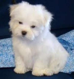 AFFECTIONATE X-MASS MALE AND FEMALE MALTESE PUPPIES