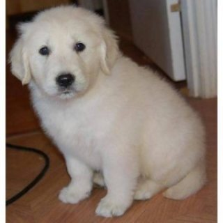 Charming Golden Retriever Puppies For XMass!