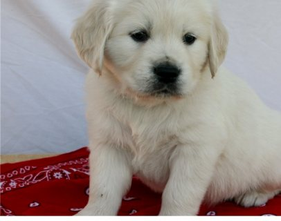 kind golden retriever puppy for sale
