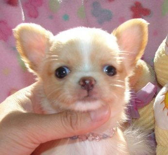 Female and male chihuahua Babies Available For Adoption