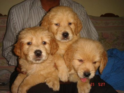 Golden Retriever Puppies Ready For Sale