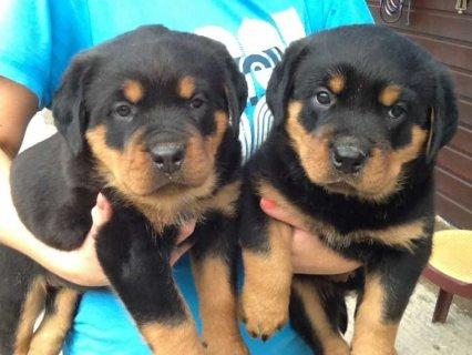 Stunning Kennel Club Registered Rottweiler Puppies