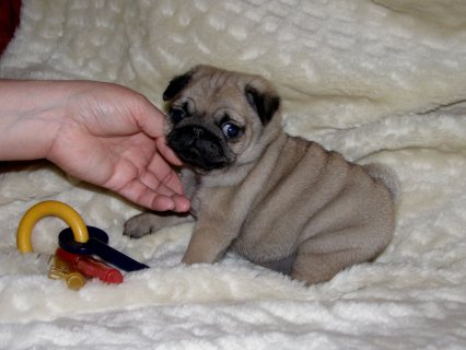 For Sale Gorgeous Kc Registered Pug Puppies