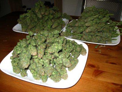 Well Notoured Medicinal Marijuana Weed For Sale