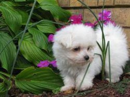 Registered Maltese puppies (1 male, 1 female). for sale