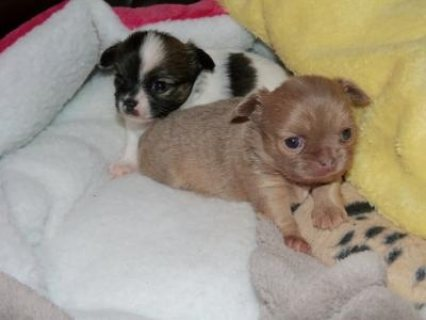 lovely chihuahua puppies