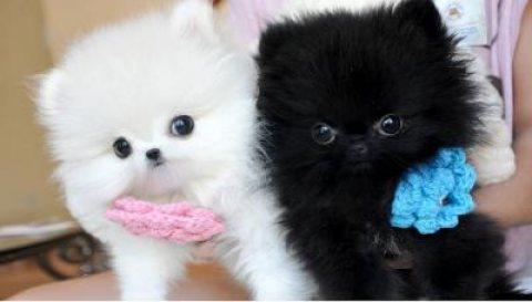 POMERANIAN Tea Cup pups