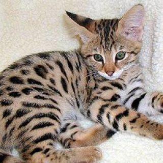 Caracal Kittens, Africa Serval Kittens,Ocelot Kittens