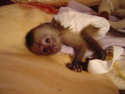 sweet pygmy marmoset monkey babies