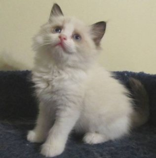 القطط الإناث للبيع ذكر دوول و.