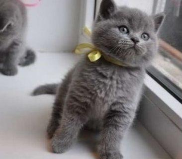 القطط لطيف البريطانية الشعر القصير للبيع.