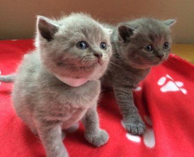 British Short Hair Kittens for Good Homes